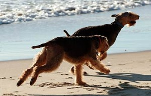2 Airedale Terriers running on a beach