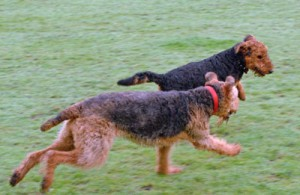 2 Airedale Terriers running, an adult and puppy