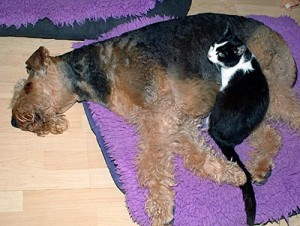 cat sleeping on top of Airedale Terrier