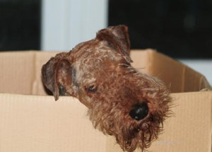 Airedale Terrier in a cardboard box