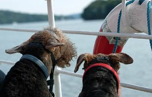 2 Airedale Terriers on a boat on Lake Windermere