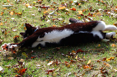 cat stretching on a leaf covered lawn