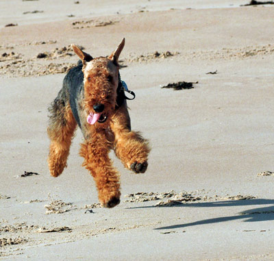 Airedale Terrier running on a beach
