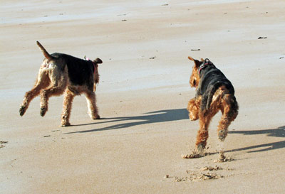 Airedale Terriers running on a beach