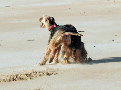 Airedale Terriers playing on a beach