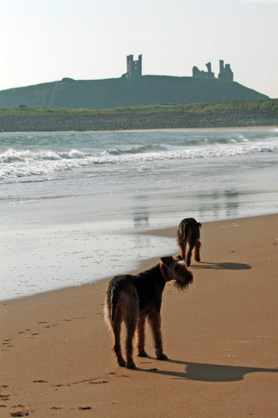 Airedale Terriers relaxing on the beach
