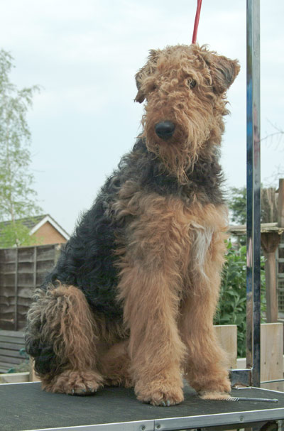 Oscar the Airedale Terrier ungroomed & looking very shaggy