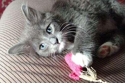 Frankie: blue/grey long haired kitten